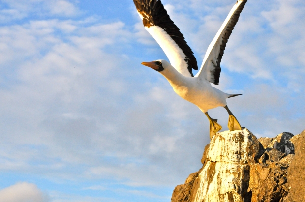 My ultimate favourite shot, an albatross in action, Punta Suarez on Galapagos Islands