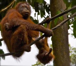 Feeding time..and playing time for the young orangutan at the Sepilok Orangutan Rehabilitation Centr